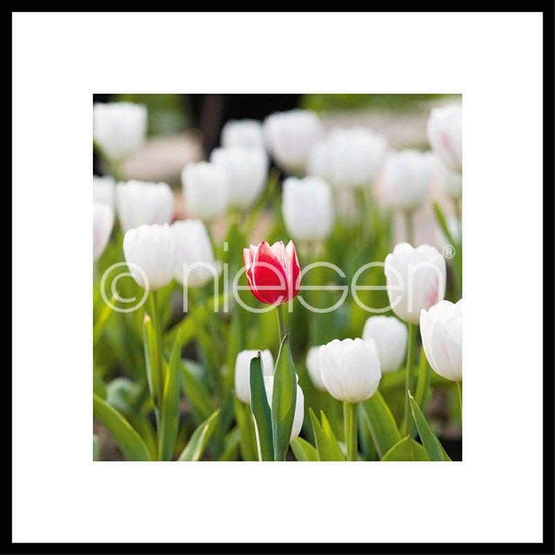 """Obramowany obraz """"Tulips"""" z ramą aluminiową C2"""