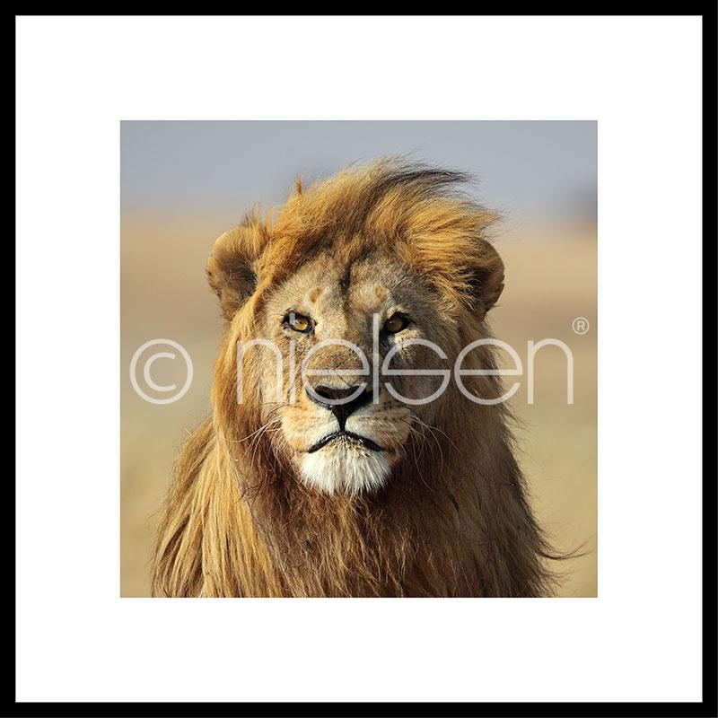 """Obramowany obraz """"Lion"""" z ramą aluminiową C2"""