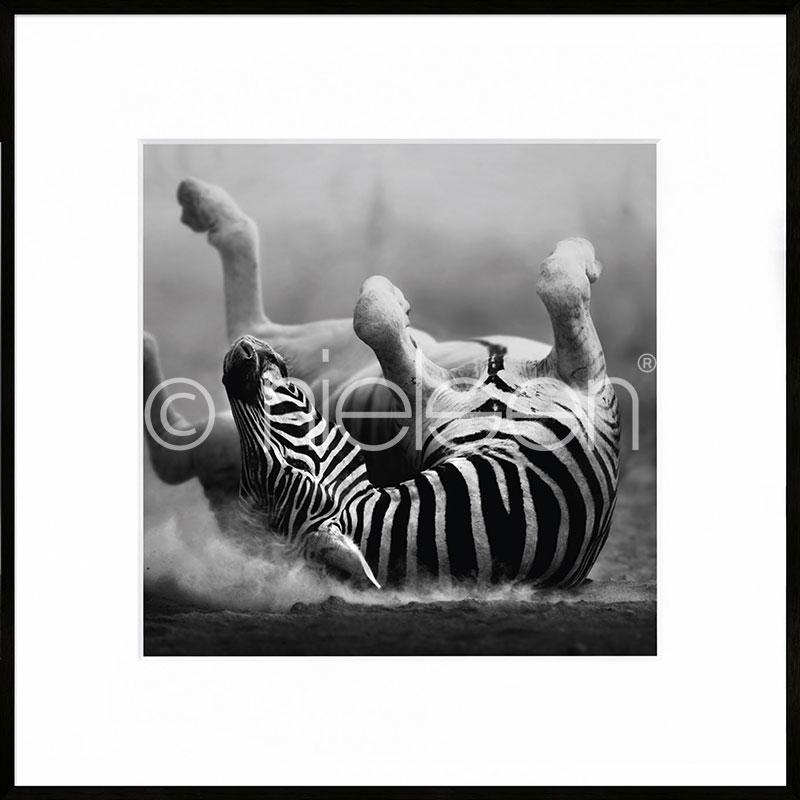 """Obramowany obraz """"Zebra lying"""" z ramą aluminiową C2"""