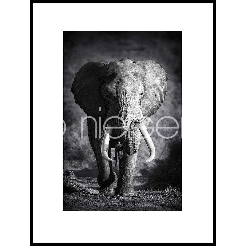 """Obramowany obraz """"Elephant black and white"""" z ramą aluminiową C2"""