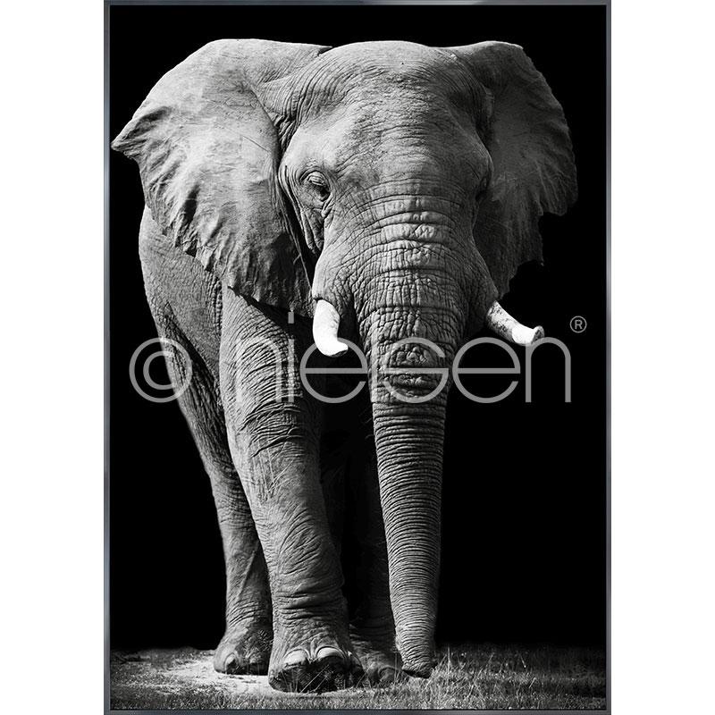 """Obramowany obraz """"Elephant black and white"""" z ramą aluminiową Alpha"""